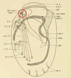 Yocom Euplotes neuromotor apparatus circled in red