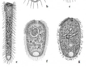 Three species only found at Krauthügel  e)  Semispathidium pulchrum f) Papillorhabdos multinucleatus g) Fuscheria nodosa salisburgensis