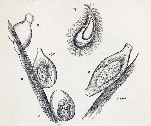 Calyptotricha pleuronemoides from Phillips resized